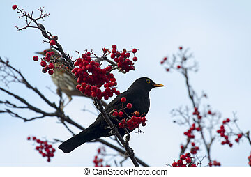 Blackbird perched on a branch with red berrys