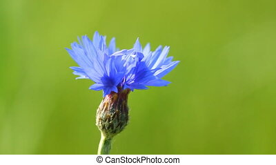 Blue cornflower and singing birds