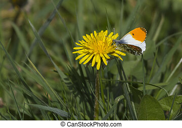 Orange Tip Butterfly feeding on a flower