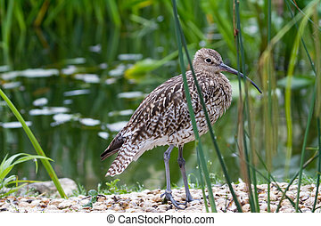 Curlew (Numenius arquata) closeup near the water