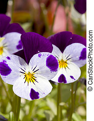 Viola pansy flower with beautiful Saturated Colour