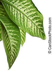 Green leaves of dieffenbachia over white background