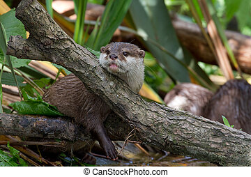 Otter Lutra lutra - Otter lutra lutra resting his head on a...