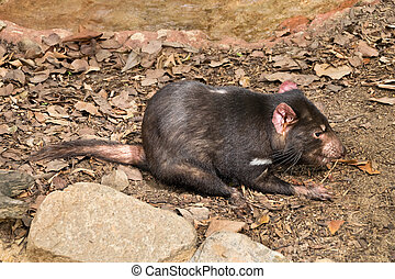 Tasmanian devil - a small tasmanian devil in the zoo