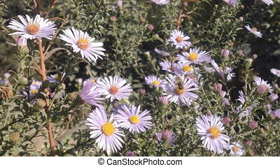 Aster Flower And Bees - Bees working in the autumn Aster...