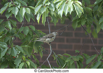 Song Thrush Turdus philomelos perched in a tree