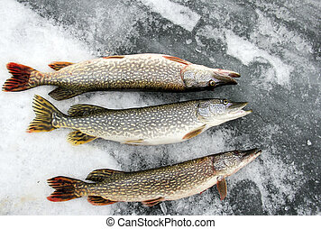 Northern Pike on the ice - Northern Pike caught ice fishing...