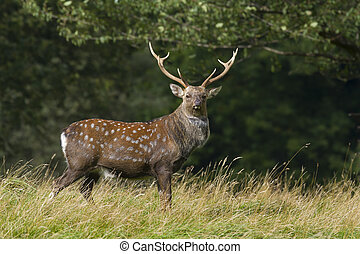 Sika Deer Cervus nippon closeup in the wild
