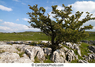 Ingleborough Yorkshire Dales tree with Limestone pavement