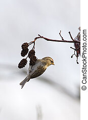 Redpoll (Carduelis flammea) hanging from a tree branch