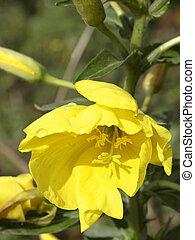 evening primrose - an evening primrose flower with water...