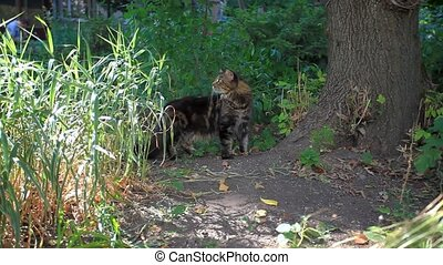 Black tabby maine coon playful cat sharpening its claws on a tree. HD. 1920x1080