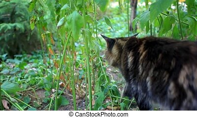 Maine Coon cat walking on grass and went off. HD. 1920x1080...