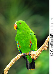 Male Eclectus Parrot - a green male eclectus parrot perched...