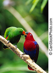 Male and female Eclectus parrots - a male and female...