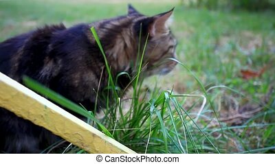 Maine Coon cat eat grass at morning. HD. 1920x1080 - Maine...