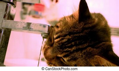 Maine Coon cat drinks water from the tap HD 1920x1080 -...
