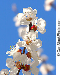 Blossoming cherry pum branch - Blossoming branch with...