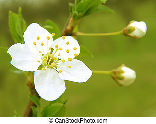 Blossoming cherry plum branch - Blossoming branch with with...