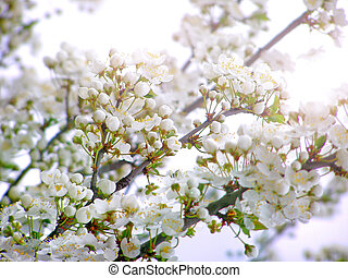 Blossoming cherry pum branch - Blossoming branch with with...
