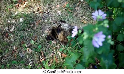 Maine coon cat playing in grass near flower. Selective...