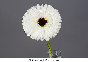 close up of a beautiful single white daisy isolated on gray background