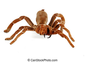 King Baboon Tarantula (Citharischius crawshayi) on white...