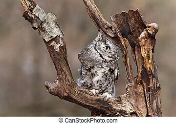 Eastern Screech Owl sits on a dead tree limb looking for...
