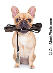 leash dog ready for a walk - fawn french bulldog sitting...