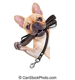 leash dog ready for a walk - fawn french bulldog with...