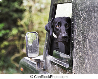 labrador in land rover