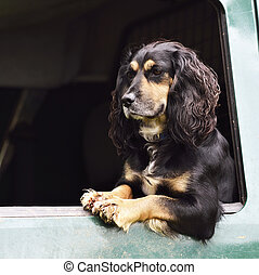 spaniel in vehicle