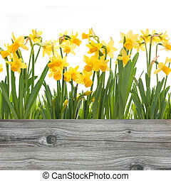 spring daffodils flowers isolated on white