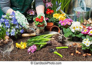 Gardening - Gardener planting flowers in pot with dirt or...