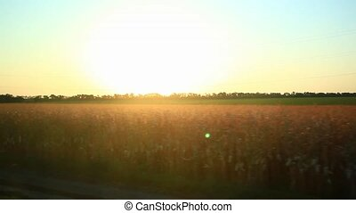 Sunny wheat field take from the car in sunset time. HD. 1920x1080