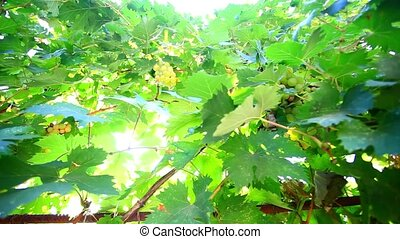 Bunch of grapes on grapevine at sunlight HD 1920x1080 -...