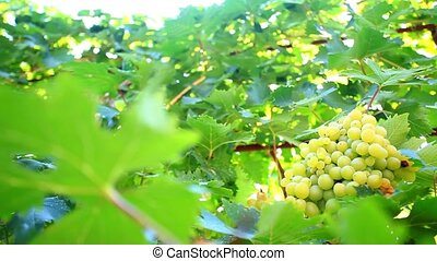 Bunch of grapes on grapevine at sunlight