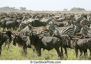 The great migration - Migration of wildebeest (Connochaetes...