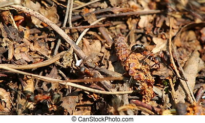 ants crawling on anthill in the woods - macro shot