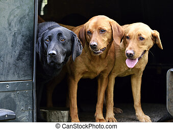 three labs - tri coloured labs