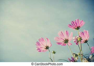Csulphureus Cav or Sulfur Cosmos and blue sky