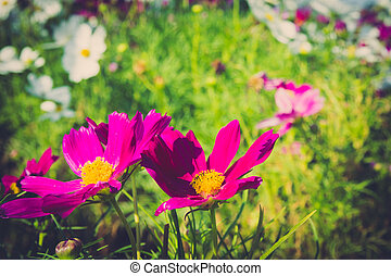 Csulphureus Cav or Sulfur Cosmos, flower in garden