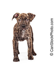 Brindle Pit Bull Mixed Breed Puppy Standing