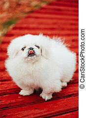 White Pekingese Pekinese Peke Whelp Puppy Dog Sitting On...