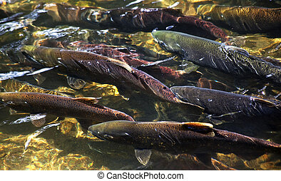 Multi-Colored, Coho, Sockeye, and Chinook Salmon, Issaquah...