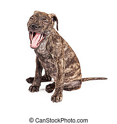 Cute Tired Puppy Yawning - A cute little sleepy Pit Bull...
