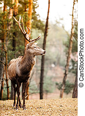 Red deer stag in autumn fall forest - Majestic powerful...