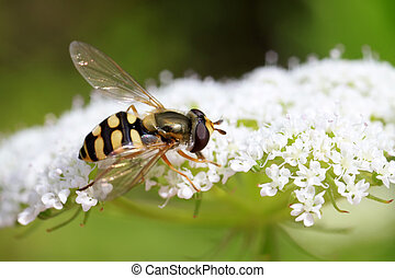 syrphidae gather nectar from flowers
