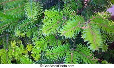 Branch of a coniferous tree. HD. 1920x1080 - Branch of a...