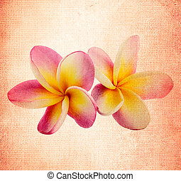 Frangipani flower in the old background